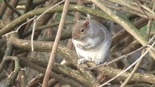 Fat squirrels: Mild winter means more food for Britain's grey squirrels