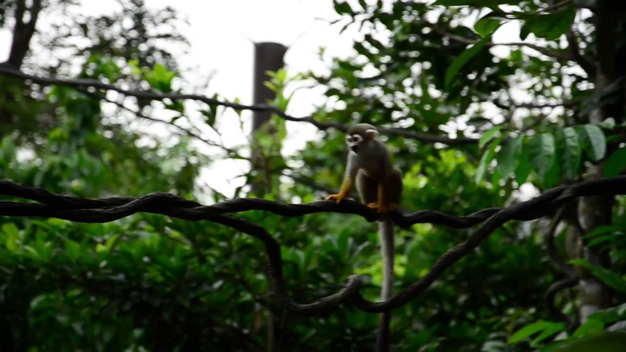 River Monkeys Squirrel Monkey at River