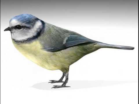 Nightingale Nightingale Bird 3d Model From
