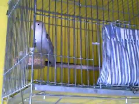Burung Lovebird Lomba Kandang Sangkar