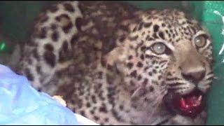 DANGEROUS LEOPARD RESCUE: A Leopard attack on 3 people at Gadariya village Valsad Gujarat