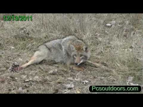Fox and Coyote Trapping, One Trap - Two Days Catch, Red Fox and Coyote Catch!