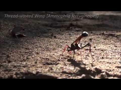 Header of Ammophila ferrugineipes