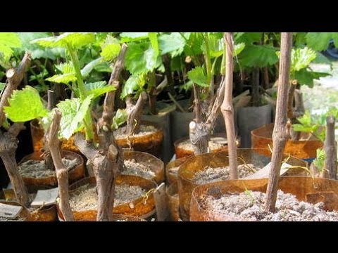 Размножение винограда черенками – простой и самый НАДЕЖНЫЙ способ