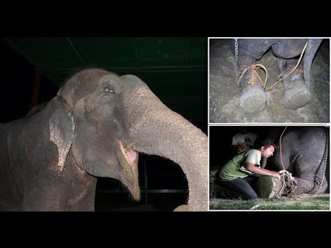 50 years a Slave : Raju the Elephant cried tears of joy after being freed from suffering
