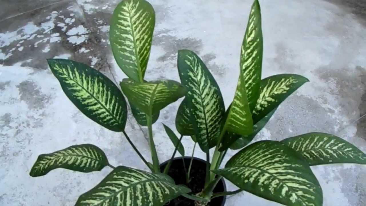 dieffenbachia amoena planta venenosa youtube