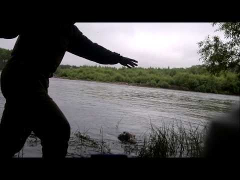 ловля пеструшки на икру