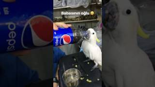 Cockatoo drinking coke