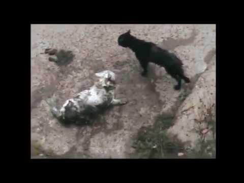 Бесподобные кошки - Funny cats. Смертельный бой котов...