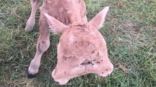 Family Shocked When Cow Gives Birth To Two-Headed Calf
