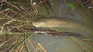 Cắm câu mùa lũ miền tây được cá lóc đồng khủng | video cũ