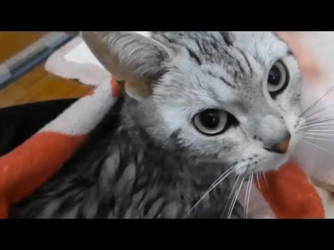お風呂嫌いなの~!と大暴れしお風呂後に文句を言う猫