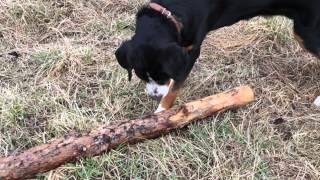 порода собак которая ловит мышей