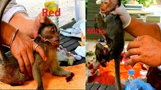 We Try Our Best To 2 Baby Monkeys Saved Today, Red-Milto! We're Not Sure and Guarantee Save Them