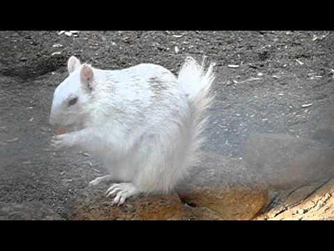 白リスの食事。White squirrel is eating.