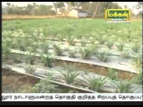 Sampangi சம்பங்கி Tuberose video