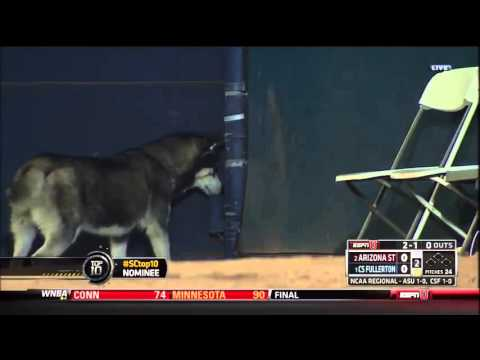 Husky Runs on the Field During CS Fullerton vs. Arizona State Game