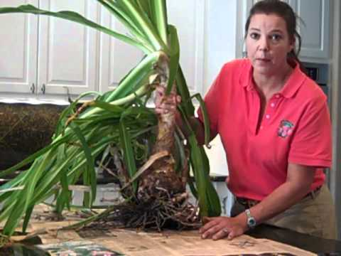 Growing Crinums and Other Lilies