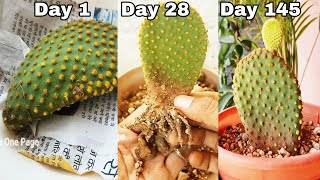 Bunny ears cactus, How to propagate Bunny ears cactus from cutting