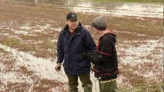 Fresh Cranberries -  Habelman Cranberry Family Farm part 2