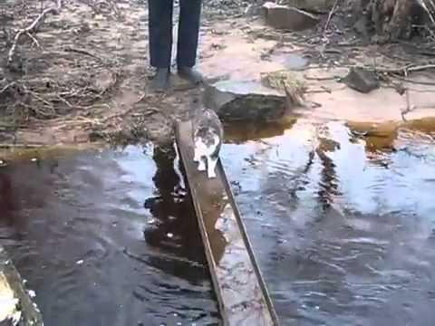 Kot Przechodzi Przez Rzeke