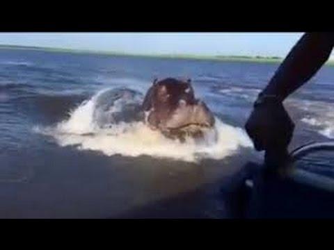 Increible ataque de un hipopotamo a una lancha safari en Zambia