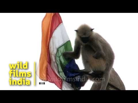 Langur Unfurls Flag On Digambar Jain Temple At Khandagiri, India video