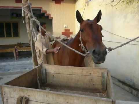 Laal Badshah At Afzal Khans Deira Pakistani Tanga Race video
