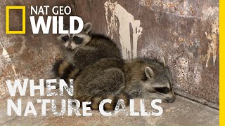 Watch as Two Raccoons Get Rescued | When Nature Calls