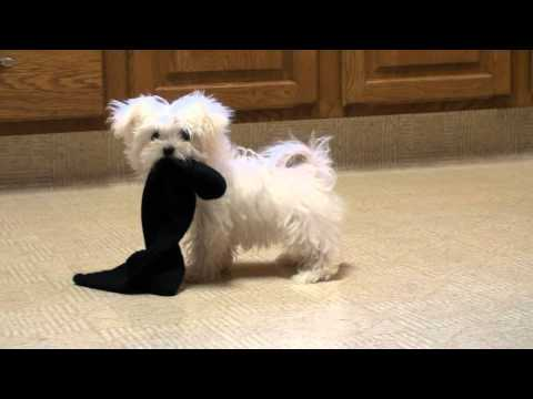 Maltesepuppies Youtube on Maltese Puppy Playing Www Sonshineacres Com 402 994 5505