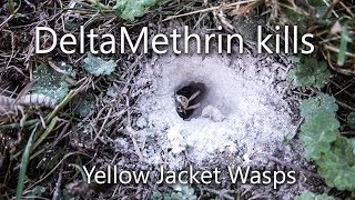 How to get rid of/kill in-ground yellow jacket wasps for good using Delta Dust ANGRY wasps come out