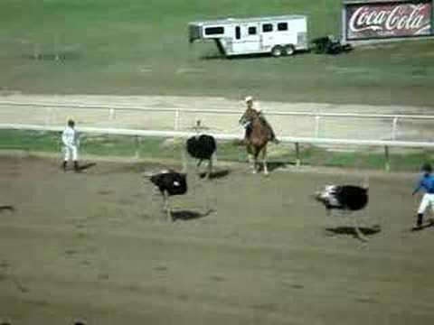Ostrich Racing Gone Wild!!! Video