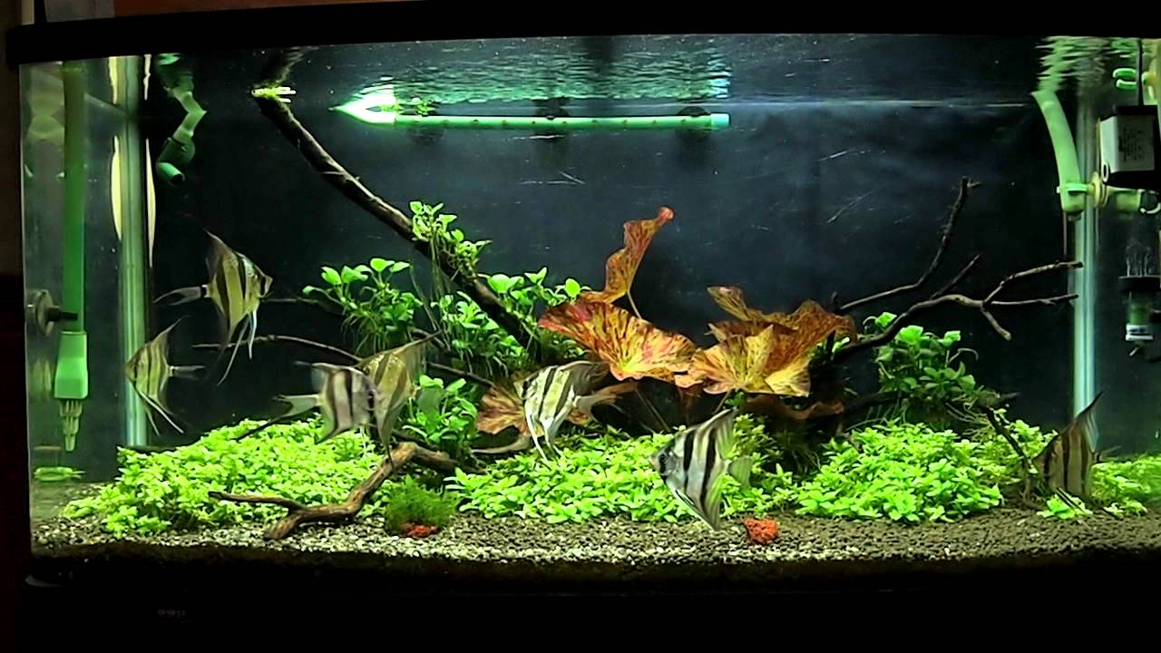 Planted Tank with Altum Angel Fish 6 months after set up ...