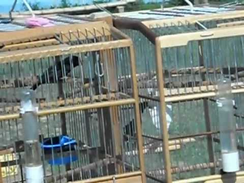 Trini Bullfinch Ansar Vs Bert, Don Miguel 25th Sept 2011.avi video