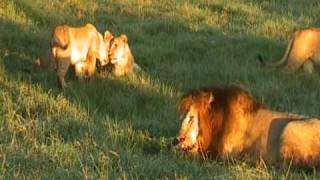 Les fauves et la savane. Life in the Savana, Africa. Lions fight !