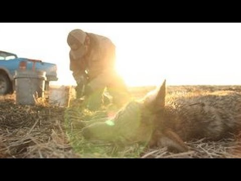 Coyote Trapping - Colder Weather Part 2 - The Management Advantage