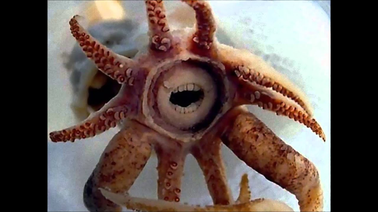 Do octopus have teeth