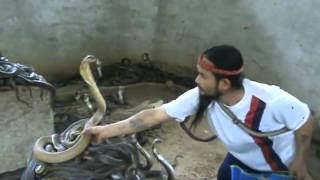 Man Selecting Countless Cobras for Circus