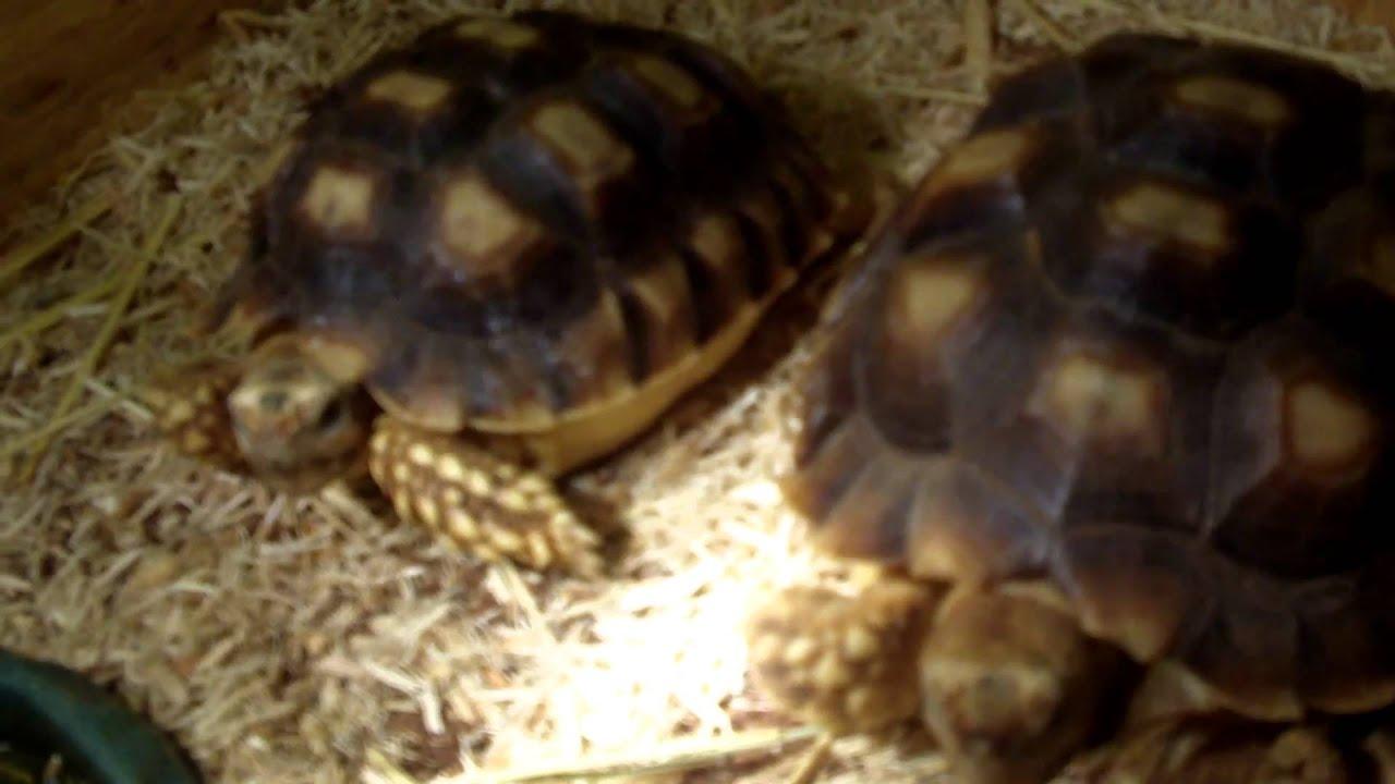 Sulcata Tortoise Care Video my Sulcata Tortoises Care