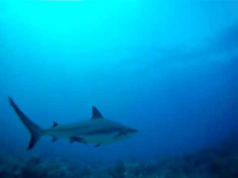 Plonge avec les requins  Roatan