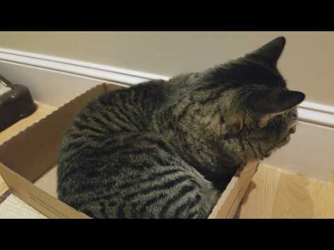 Feline Observational  - Tacy Cat Self-Grooming in a Chewycom Box