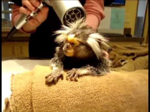 Marmoset and Hairdryer   Exotic Pet Vet Unedited and Uncut