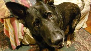 Funny head turning chat with German Shepherd Bruce