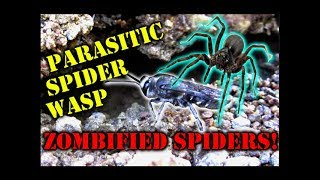 the Parasitic Wasp that Zombifies Spiders!
