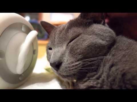 【ASMR】 ★massage My Cat★猫のヘッドマッサージ・ブラッシング音 音フェチ