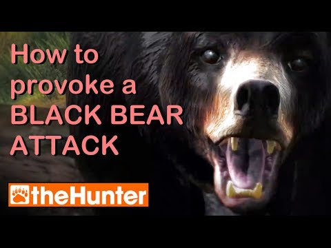 Provoking a Bear Attack - t