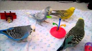 Budgies playing with some new toys