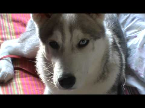 husky vs toy poodle playing and kissing