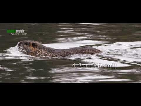 """Nutria, Biber und Bisam. Unterscheidung """"heimischer Wassernager"""" -  Naturwerk Wildlife"""
