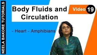 Body Fluids and Circulation - Heart - Amphibians